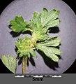 Aphanes australis sl38.jpg