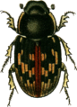 Aphodius tessulatus Jacobson.png