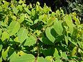 Apocynum androsaemifolium 2017-05-23 0649.jpg