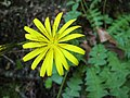 Aposeris foetida -斯洛文尼亞 Bled Vintgar Gorge, Slovenia- (27670103476).jpg