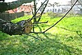 Apple tree grafting 1.jpg
