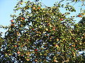 Apples on branches 01.jpg
