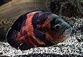 Aquarium tropical de Pierrefitte-Nestalas 03082018 Astronotus ocellatus Oscar 1.jpg