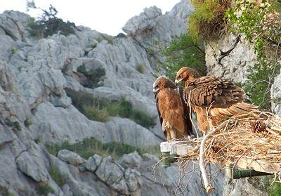 Πόσο μεγάλο είναι RICO ισχυρό πουλί