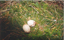 Aquila pomarina nest with eggs.jpg
