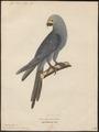 Ara glauca - 1842-1855 - Print - Iconographia Zoologica - Special Collections University of Amsterdam - UBA01 IZ18500135.tif