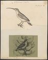 Arachnothera longirostra - 1700-1880 - Print - Iconographia Zoologica - Special Collections University of Amsterdam - UBA01 IZ19000129.tif