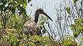 Aramus guarauna (Limpkin) 24.jpg