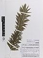 Araucaria angustifolia (Bertol.) Kuntze (AM AK375042-1).jpg