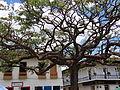 Arbol en la Plaza Principal del Municipio el Jardín. Antioquia. Colombia.JPG