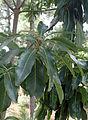 Arbutus canariensis kz8.JPG
