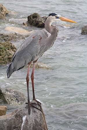 A Great Blue Heron, Ardea herodias, standing on a rock on the side of a pier in St. Pete Beach, Florida.