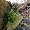 Artemisa herba alba floratrek2013.jpg