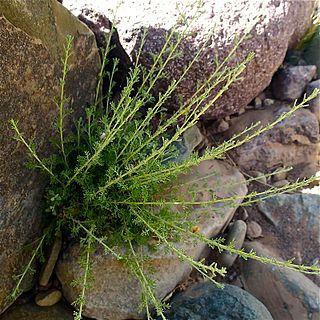 <i>Artemisia herba-alba</i> species of plant