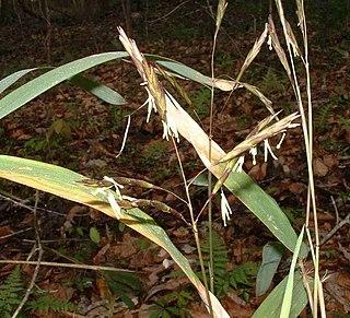 <i>Arundinaria</i> genus of plants