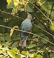 Asian Fairy Bluebird AMSM2156.jpg