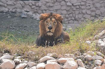 Asiatic Lion in Lucknow Zoo.jpg