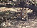 Asiatic lions5.jpg