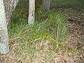 Asparagus aethiopicus 'Sprengeri' L. (AM AK226531-4).jpg
