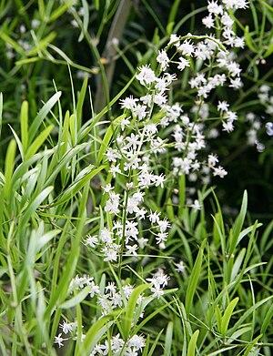 Asparagus falcatus - Image: Asparagus falcatus 04