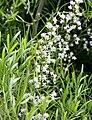 Asparagus falcatus 04.jpg