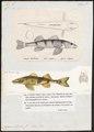 Aspro vulgaris - - Print - Iconographia Zoologica - Special Collections University of Amsterdam - UBA01 IZ12900109.tif