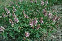 Astragalus bisculatus