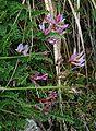 Astragalus monspessulanus 1.jpg