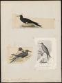 Atagen minor - 1700-1880 - Print - Iconographia Zoologica - Special Collections University of Amsterdam - UBA01 IZ18000197.tif