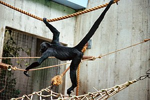 Atelinae - Black-headed spider monkey (Ateles fusciceps)