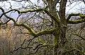 Augstrozes ozoli -oaks - panoramio.jpg