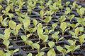 Australe lettuce (5596426954).jpg