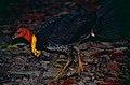 Australian Brushturkey (Alectura lathami) (10244025615).jpg
