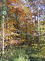 Autumn Gold at Little Bradley Wood - geograph.org.uk - 282226.jpg