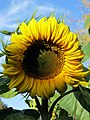 Autumn Sunflower 3 (23759812744).jpg