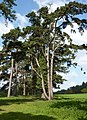 Avenue of pine trees - geograph.org.uk - 1282413.jpg