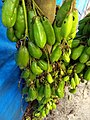 Averrhoa bilimbi (commonly known as bilimbi, cucumber tree, or tree sorrel,ചെമ്മീൻപുളി.jpg