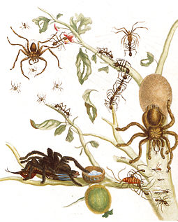 "Colored copper engraving from Metamorphosis, ""Spiders, ants and hummingbird on a branch of a guava"". The spider in the bottom left corner is eating a bird. Avicularia-avicularia.jpg"