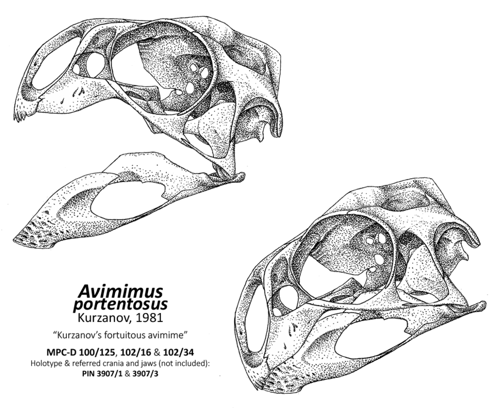 Avimimus skull new
