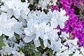 Azaleas White Blossoms (48793475786).jpg