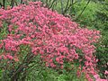Azaleas on Mount Guifengshan in Macheng City, Huanggang, Hubei 20.jpeg