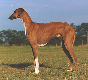 Saluki Dogs For Sale In South Africa