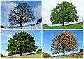 Bäume Jahreszeit 2013.jpg