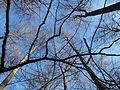 Bäume unter Blauem Himmel im Januar 2016 in Deutschland (1).JPG