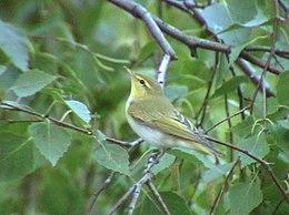 BG Phylloscopus Trchilus 2002.jpg