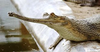 Gharial - Young gharial in Kukrail Reserve Forest, India