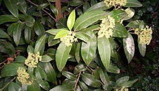 <i>Backhousia citriodora</i> Species of tree