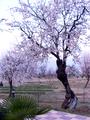 Badamwari tree.png