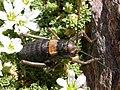 Baetica ustulata, endemismo de Sierra Nevada - panoramio.jpg