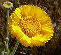 Baileya multiradiata flower 1.jpg
